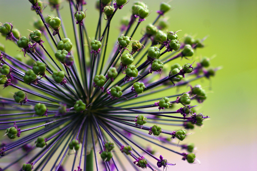 Allium Fireworks For Mizzel An Allium From The Garden Ha Flickr