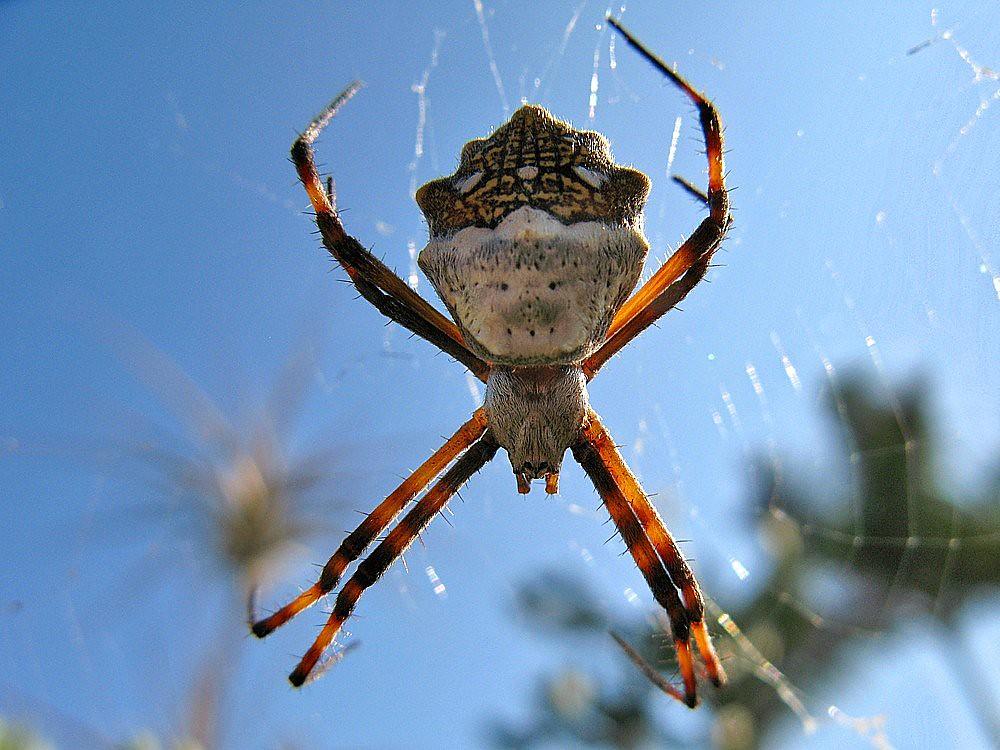 Araña Argiope argentata