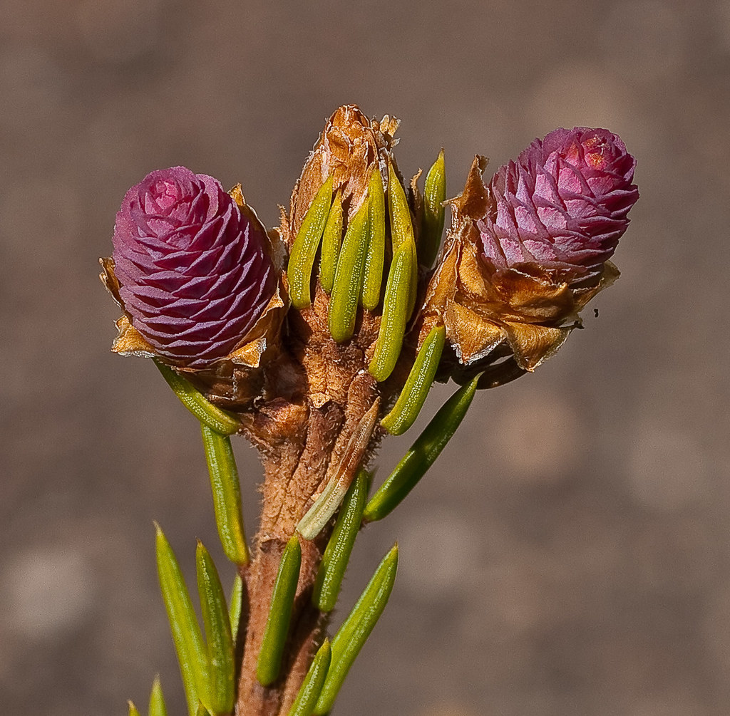 Picea Abies Pusch Dwarf Norway Spruce New Cones On Pic Flickr