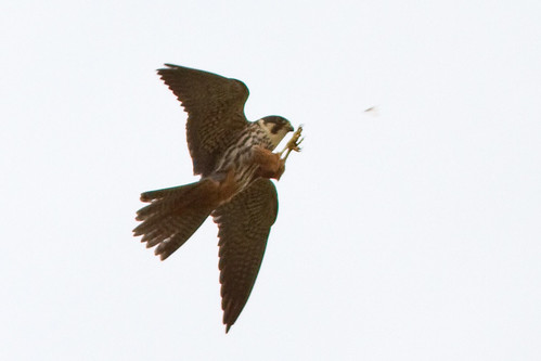 Hobby 110519 Falco subbuteo