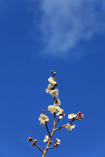 Ume / Prunus mume / 梅(ウメ) | by TANAKA Juuyoh (田中十洋)