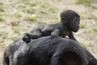 National Zoo baby gorilla rides on mother's back | by Smithsonian's National Zoo