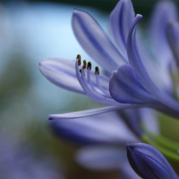 Wonderful agapanthus flower