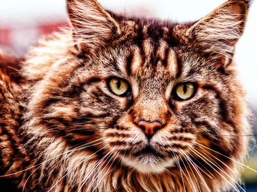 Maine coon Cat | by Andreas-photography