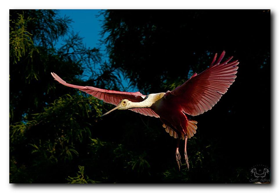 Roseate Spoonbill St Augustine Alligator Farm Scotthelfric Flickr