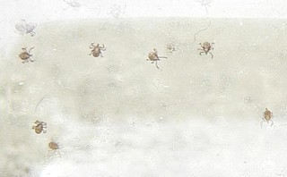 Baby Ticks (Cropped) | by Vicky TGAW