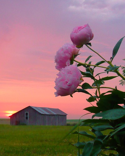 pink barn sunrise farm iowa peony coonrapids whiterockconservancy