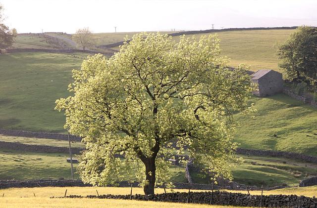 DSC_0123i - Tree at dusk (Gayle, Hawes)