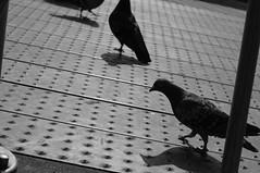 pigeons on Schouwburgplein