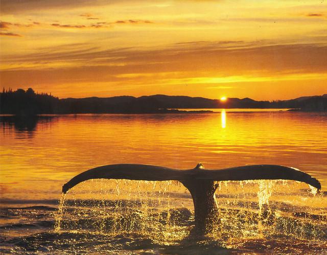 Humpback Whale's Tail Calendar Photo