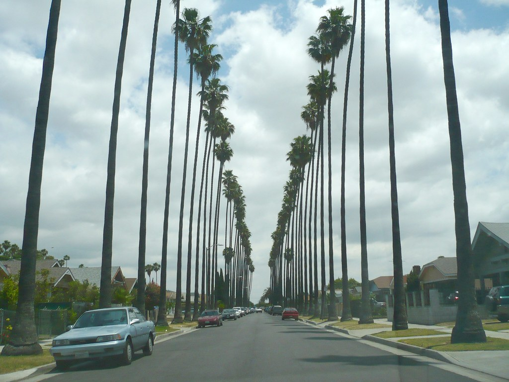 Palm Trees Of South Los Angeles These Washingtonia Palm Tr Flickr