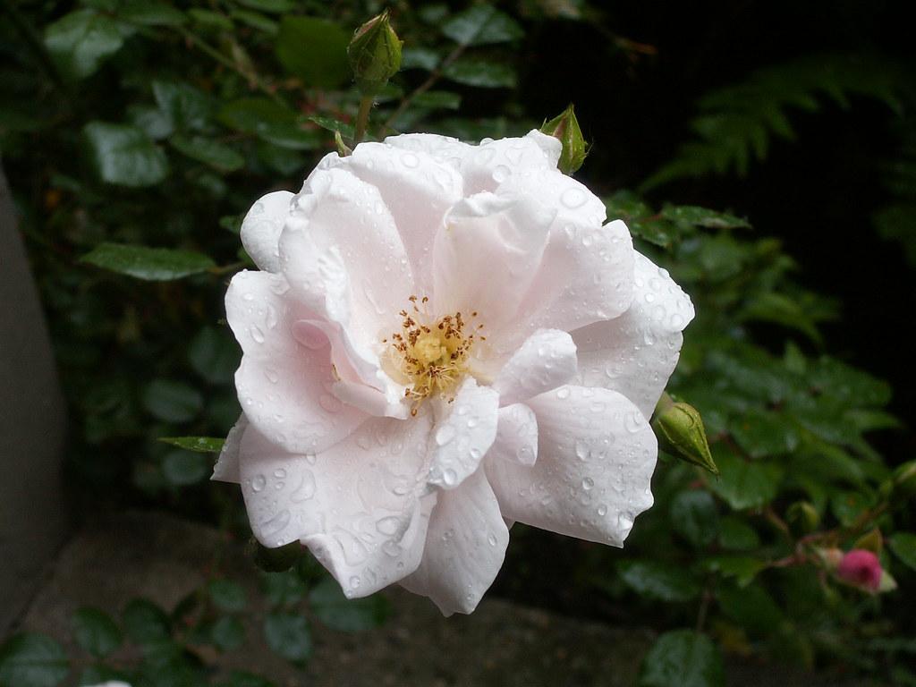 Rose deren Name deine junge Brust überwallend macht, sind bloße Schaugerichte, leichte Träum unwesentlicher Lust! Freundschaft, Liebe! ach! euch lassen uns die Götter nur von fern aus offnem Himmel sehn, diesseits her versetzt, sind eure Früchte – Blätter, die mit leerem Schmuck das Auge hintergehn in Dresden 003