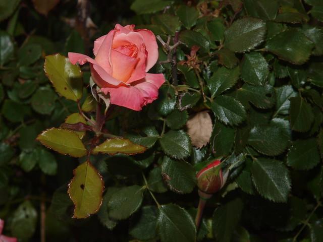 K5169161 Bill Warriner rose