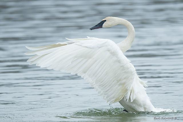 Trumpeter Swan - wing flap