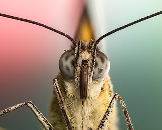 caper white butterfly close up   by piggsyface