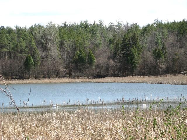 Mute Swans, MacDonald Woods