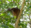 Rufous-vented Chachalaca by tapaculo99