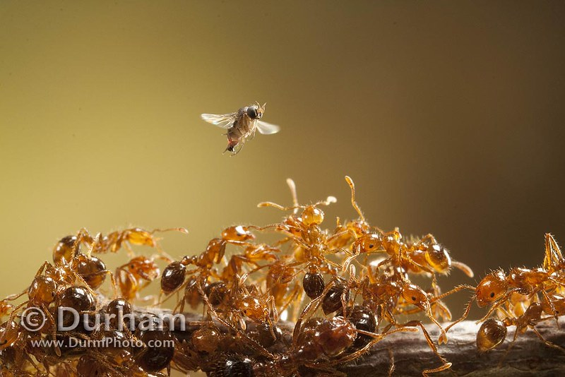 phorid fly and imported red fire ants
