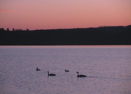 morning sun lake ny newyork bird water animal sunrise river landscape geese goose hudson hudsonvalley esopus portewen
