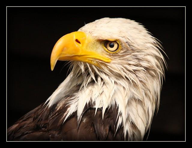 Eagle Portrait - no. 1