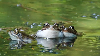 common frogs - Rana temporaria | by JH FIN
