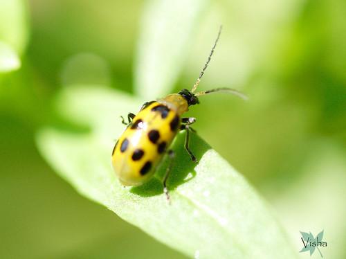 yellow beetle (EXPLORE)