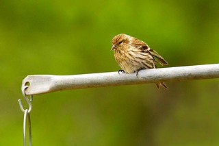 Pine Siskin - Texas Hills_H8O3621-Edit-67 | by fveronesi1