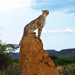 Cheetah on Termite Mound - Namibia