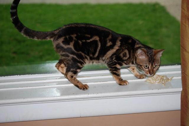 Bengal Cat Sumi Marble Bengal Kitten Marble Cat Sumi