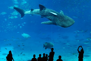 whale shark | by cotaro70s