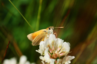 Small skipper | by Mike G Photos