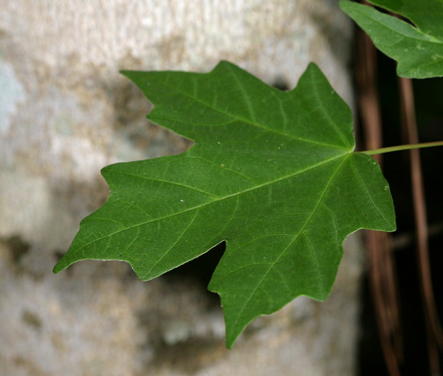 Southern Sugar Maple Detail Of Leaf Acer Barbatum Also K Flickr