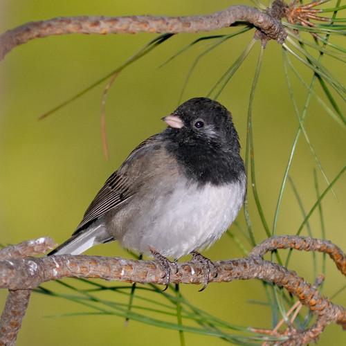 cute green bird nature birds animal nikon colorado dof bokeh wildlife junco birding ave co ornithology 2009 avian d300 300f4 hbw clff aplusphoto