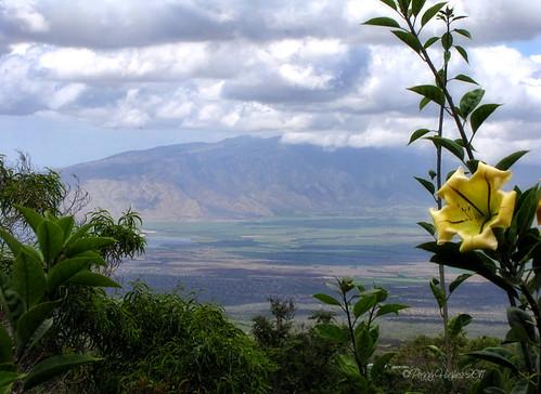 vacation flower landscape hawaii view scenic maui peggy kula kulabotanicalgarden ©allrightsreserved cupofgold solandrahartwegii april2011 ©peggyhughes