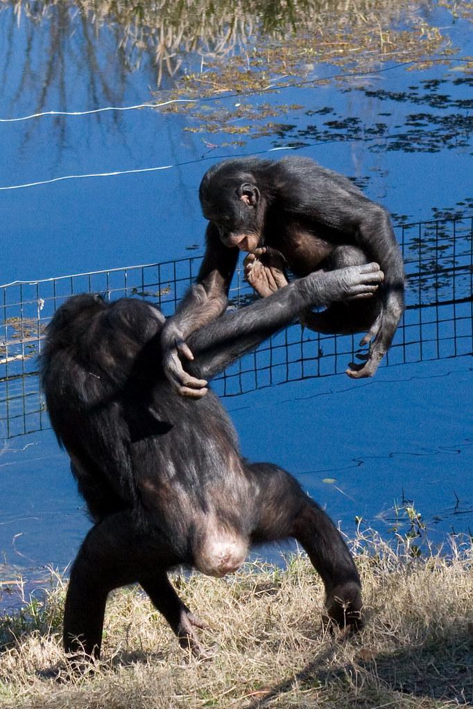 Bonobo Chimpanzee Attack *3 More Pics*   Evan   Flickr