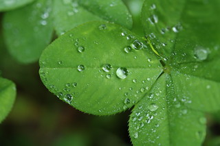 20090506 Four Leaf Clover 009 | by cygnus921