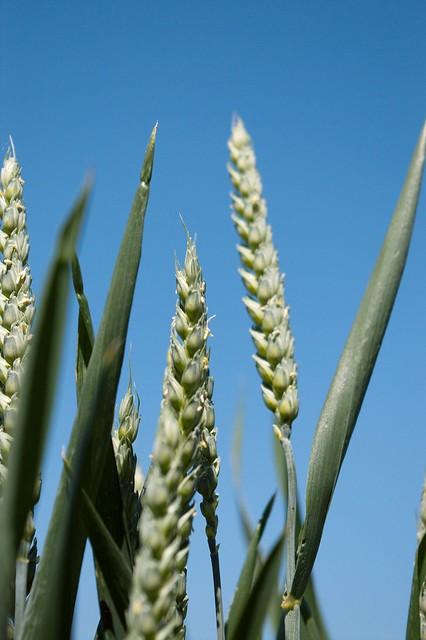 imgp8999 - Blue Sky Green Wheat