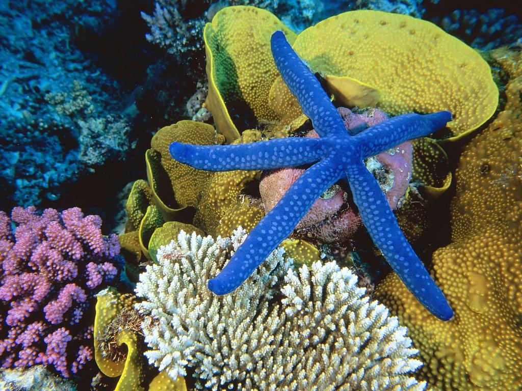 Blue Linckia Sea Star,Great Barrier Reef, Australia | Flickr