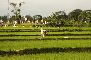 Rice Paddies | by magnusvk