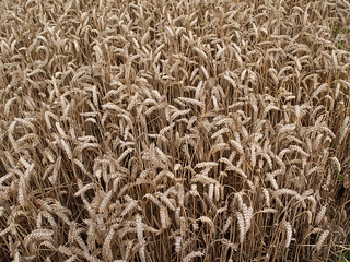 Wheat - Mid Agust 2008 | by D H Wright