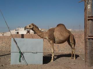 Camel eating garbage
