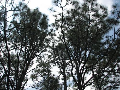 Sky Trees Weymouth Woods NC SP 0174
