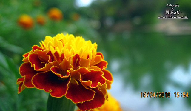 Beautiful Flower From Veli, Trivandrum, Kerala