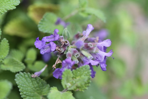 Catmint (Nepeta racemosa) | by Jim, the Photographer