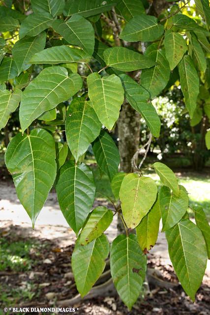 Ficus variegata - Variegated Fig