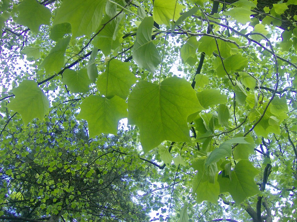 Image result for tulip tree