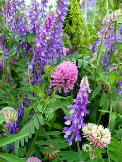 Red Clover and Vetch | by oschene