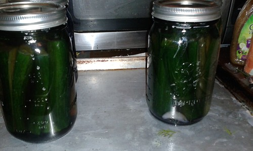 A second batch of dill sour pickles. Better in quart jars. And this time instead of a little bit of black tea, a whole tea bag to each jar. | by kd1s