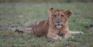Stalking some wildebeast? Nah...I'll just rest... | by Alexander Máni Kárason