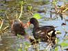 Moorhen feeding Chick by simonsr35